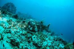 Bad för PufferfishArothron mappa omkring i Gili, Lombok, Nusa Tenggara Barat, Indonesien undervattens- foto arkivbild