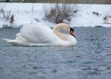 Bad för stum svan pusta på vinterfloden arkivfoton