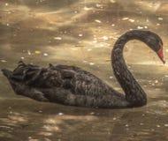 Bad för svart svan på vattnet royaltyfri bild