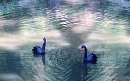 Bad för svarta svanar i dammet Fotografering för Bildbyråer