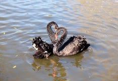 Bad för svarta svanar i dammet arkivfoto