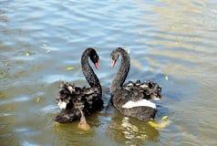 Bad för svarta svanar i dammet royaltyfria bilder