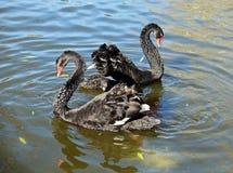 Bad för svarta svanar i dammet arkivfoton