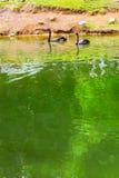 Bad för svarta svanar i det gröna dammet Juozo alus Palanga Royaltyfri Bild
