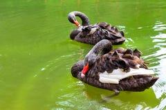 Bad för svarta svanar i det gröna dammet Juozo alus Palanga Arkivbild