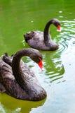 Bad för svarta svanar i det gröna dammet Juozo alus Palanga Arkivfoton
