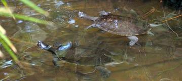 Bad för två nordligt guling-vänt mot sköldpaddor i sötvatten Royaltyfri Foto