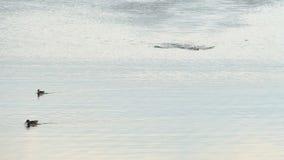 Bad för ung man kryper i en sjö med änder på solnedgången arkivfilmer