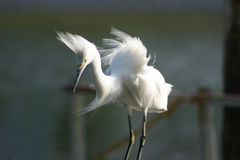 Bad Feather Day. Snowey egret fighting to keep balance in wind Stock Photography