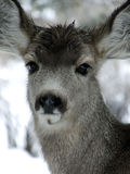 Bad Hair Day. Yearling Mule Deer with wet head on a snowy winter day stock photo