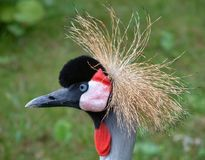 Bad hair day. Profile of a large bird with fuzzy hair Royalty Free Stock Images