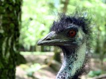 Bad Hair Day. An ostrich with a very bad hair-day stock photos