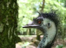 Bad Hair Day. An ostrich with a very bad hair-day stock images