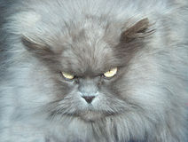 Bad hair day. Cat with disgusted look on his face Royalty Free Stock Photo