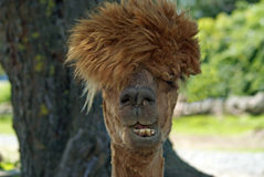Bad Hair Day Stock Image