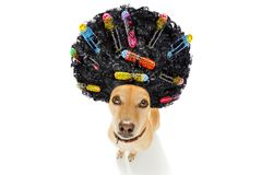 Bad hairdo on dogs. Sad angry dog with a very bad curly hairdo, with hair rollers , looking up at you , on white background stock photo