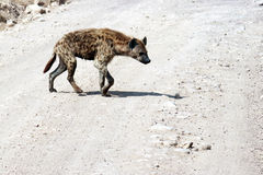 Bad hyena Stock Images