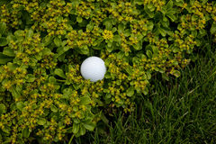 Bad lie 1. Golf ball in a bad lie off the grass and into the flower bed Royalty Free Stock Photo