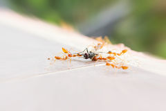 Bad luck fly or fly house sacrifice by ant team, looser flyhouse Stock Photo