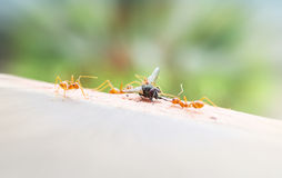 Bad luck fly or fly house sacrifice by ant team, looser flyhouse Royalty Free Stock Photos