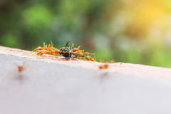 Bad luck fly or fly house sacrifice by ant team, looser flyhouse Royalty Free Stock Photo