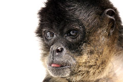 Bad Monkey. Studio portrait of a Spider Monkey sticking his tongue out Royalty Free Stock Photo