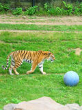 Bad Mood. A picture of a tiger that might not be feeling like playing ball Stock Photography