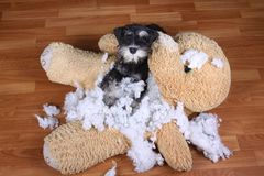 Bad naughty schnauzer dog destroyed plush toy Royalty Free Stock Photo