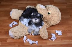 Bad naughty schnauzer dog destroyed plush toy. At home royalty free stock photo