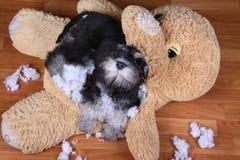 Bad naughty schnauzer dog destroyed plush toy Stock Photos