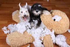 Bad naughty schnauzer dogs destroyed plush toy. At home Royalty Free Stock Images