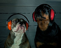 Two dogs with hearing protection. Bulldog and a Rottweiler with hearing protection Royalty Free Stock Photo