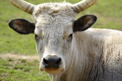 Bad ox Stock Image