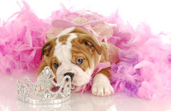 Bad puppy Royalty Free Stock Images
