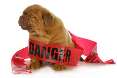 Bad puppy. Dogue de bordeaux puppy wrapped up in danger tape on white background - 4 weeks old stock photography