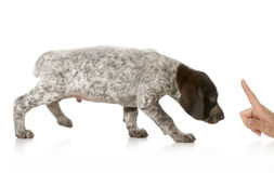 Bad puppy. German shorthaired pointer being scolded isolated on white background stock photo
