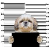 Bad shitzu dog at the police station. Photo on white. Background Royalty Free Stock Photos