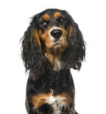 Bad-tempered English Cocker Spaniel. On white,11 months old Royalty Free Stock Images