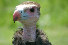 Bad tempered vulture. A portrait of a quite bad tempered vulture Stock Photos