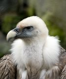 Bad vulture. Close up vulture Royalty Free Stock Images