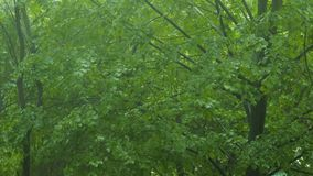 Bad weather forest rain falling green tree ecology. Bad weather in the forest. Heavy rain falling down the green trees. Ecology and environment concept stock video footage