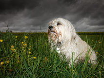 Bad weather. In bad weather sits a wet and listless white Havanese in the grass and can be reluctant to photography, in the background draw storm clouds stock image
