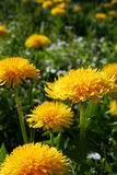 Bad weeds grow beautiful. Meadow in spring with many yellow dandelions. Bad weeds grow beautiful sometimes stock image