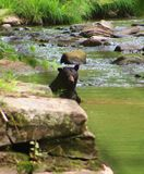 Bada den svarta björnen Fotografering för Bildbyråer