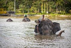 Bada elefanterna Arkivfoto