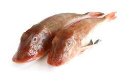 Bada gurnardfisken över white Royaltyfri Foto