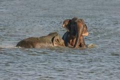 Bada lösa elefanter Fotografering för Bildbyråer