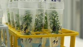 Badacz rośliien medyczna tkanka dla leczniczego zamierza, butelki ruruje próbnego wzrostowej sali klonu in vitro zdjęcie wideo