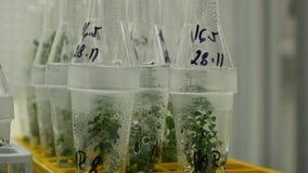 Badacz rośliien medyczna tkanka dla leczniczego zamierza, butelki ruruje próbnego wzrostowej sali klonu in vitro zbiory wideo