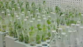 Badacz rośliien medyczny capsicum i czerwony pieprz dla leczniczego zamierzamy, butelki rurujemy próbną wzrostową salę wewnątrz zbiory